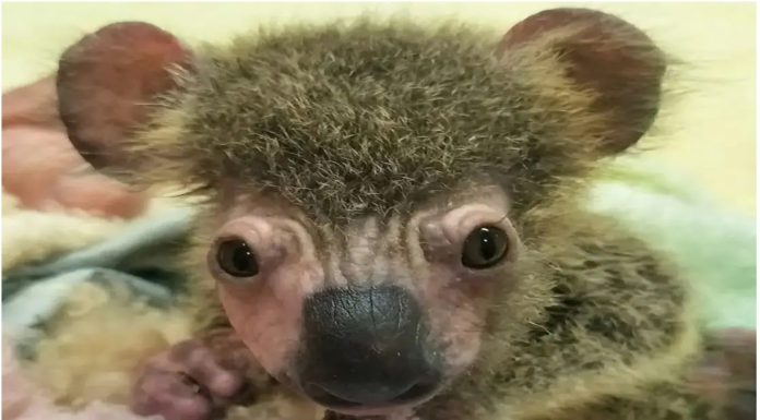 Suosjećajni pas spasio malenu koalu čija je mama izgorjela u požaru