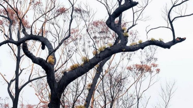 Australska šuma se obnavlja nakon požara 2