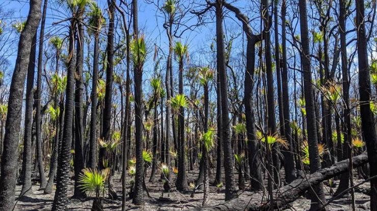 Australska šuma se obnavlja nakon požara 3