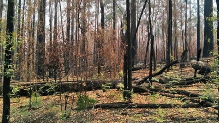 Australska šuma se obnavlja nakon požara 4