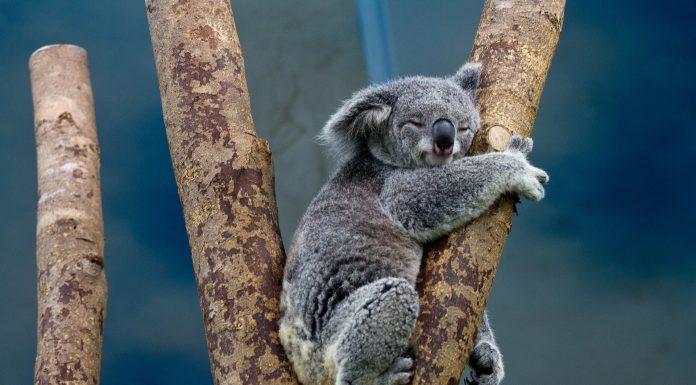 U Australiji uginulo čak 25 tisuća koala