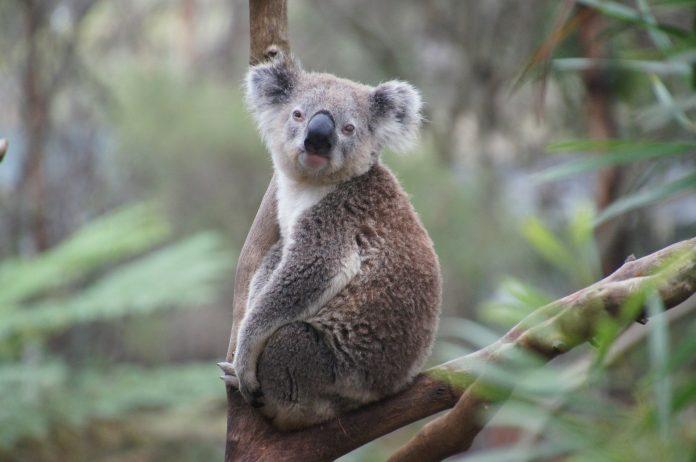 Tužna vijest iz Australije 480 milijuna životinja smrtno stradalo u požarima