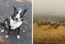 Hrabra kujica spasila stado ovaca od požara u Australiji