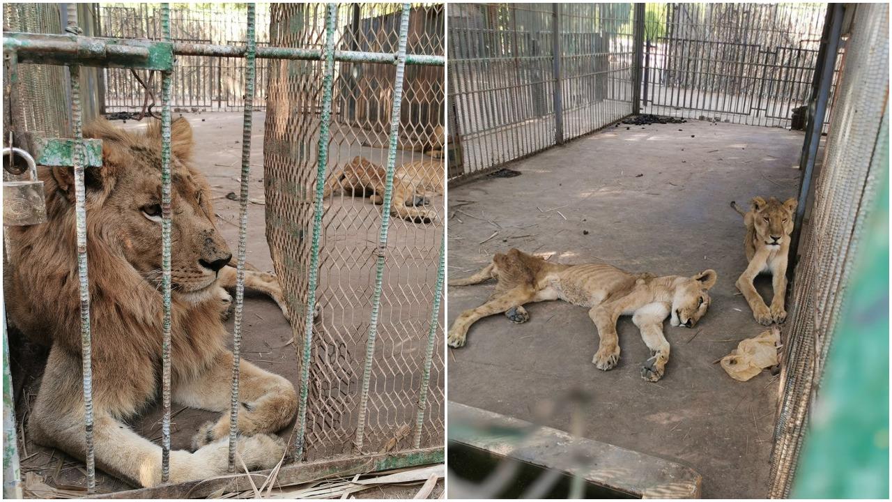 Fotografije gladnih lavova iz jednog zoološkog vrta šokirale svijet