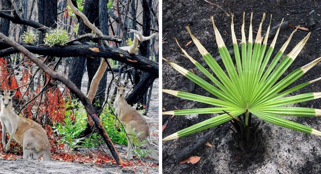 Australija se diže iz pepela