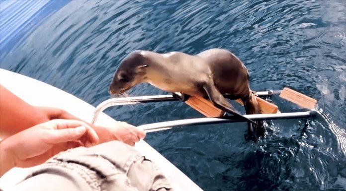 Morski lav je došao do broda, a onda su shvatili da nešto nije u redu