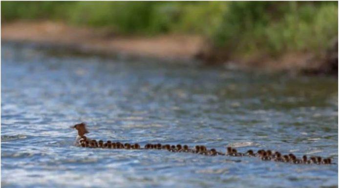 Ljudi ne mogu prestati gledati ovaj video mame patke koja vodi 75 pačića