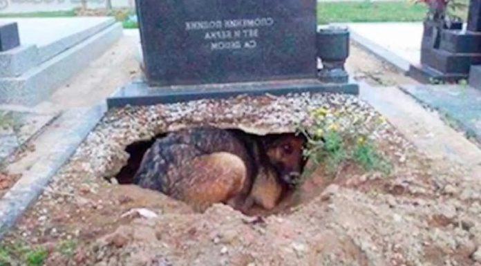 Ženka njemačkog ovčara iskopala jazbinu na grobu svog vlasnika