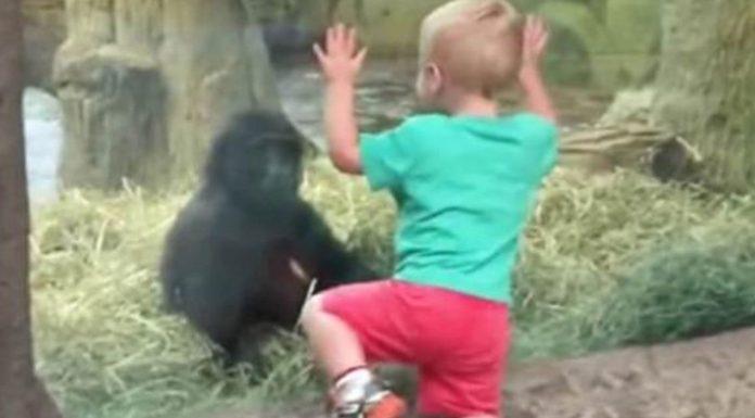 Dječak se približio bebi gorili, a onda je uslijedila najslađa stvar ikad