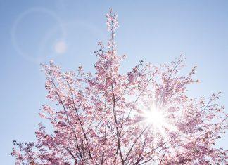Grad se probudio, život je pobijedio: Procvjetale trešnje u Wuhanu