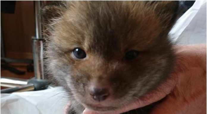 Spasio je napušteno štene, a onda otkrio da je to lisica