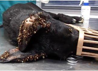 Pas je bio prekriven tisućama krpelja