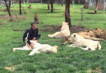 Igrao se s lavovima, no nije primijetio opasnost iza leđa
