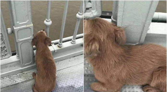 Pas na mostu četiri dana čekao vlasnika koji je skočio u smrt
