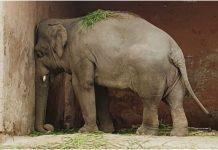 Najusamljeniji slon na svijetu