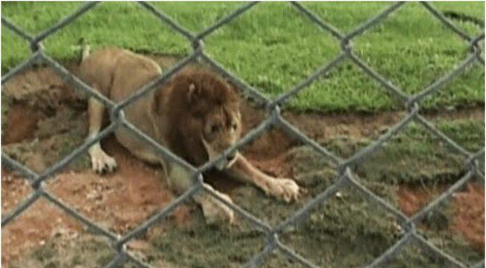 Lav je 13 godina proveo u kavezu
