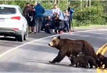 Zaustavili su promet kako bi medvjedica i njezine bebe prešle cestu
