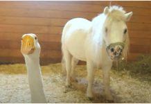Gusak ne dopušta nikome da se približi njegovom prijatelju konju