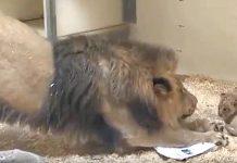 Tata lav je prvi put vidio svoju bebu - njegova reakcija je izvanredna