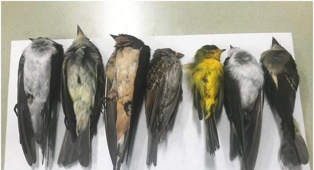 Misterij u SAD-u: Pronašli na tisuće mrtvih ptica, samo padaju sa neba