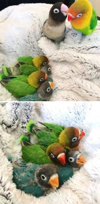 Papagaji i bebe