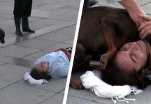 Pas lutalica prekinuo predstavu kako bi utješio glumca koji se pretvarao da je ozljeđen