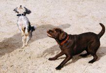 Dresirani psi mogu nanjušiti koronavirus