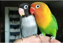 Usamljeni papagaj je pronašao svoju srodnu dušu