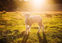 Životinjske žrtve u Starom zavjetu