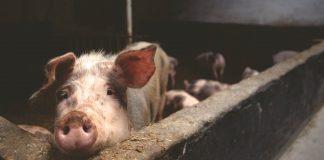 Zašto su demoni od Isusa tražili da ih pošalje u svinje?