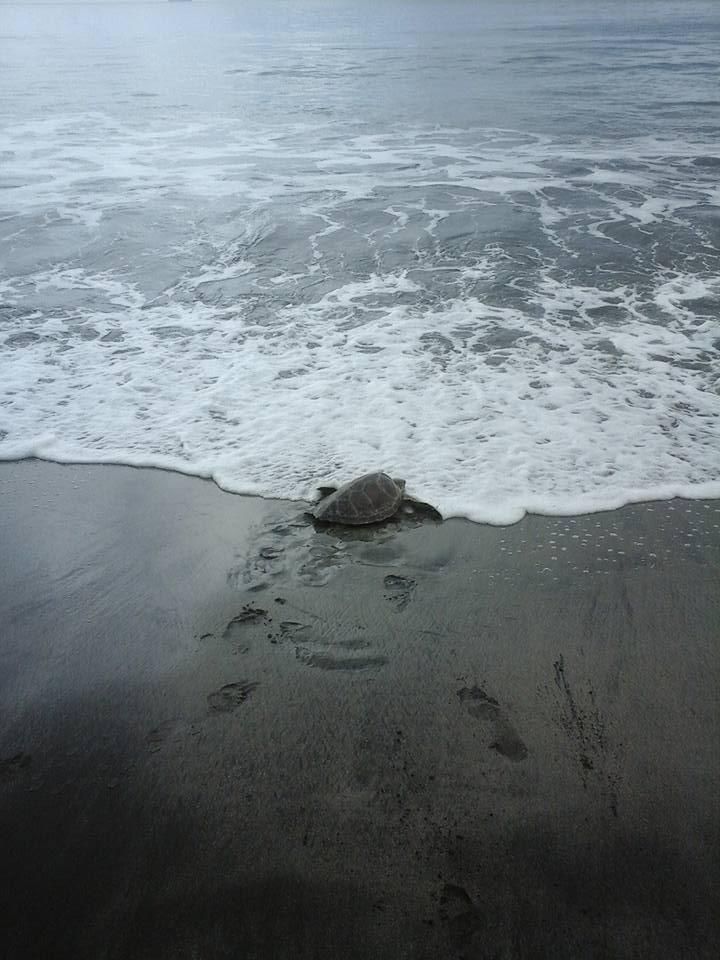 Morske kornjače na slobodi