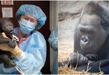Mama gorila prvi put vidjela bebu