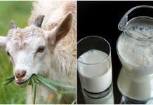 Kozje mlijeko