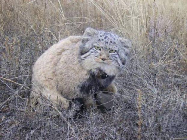 Pallasova mačka 1