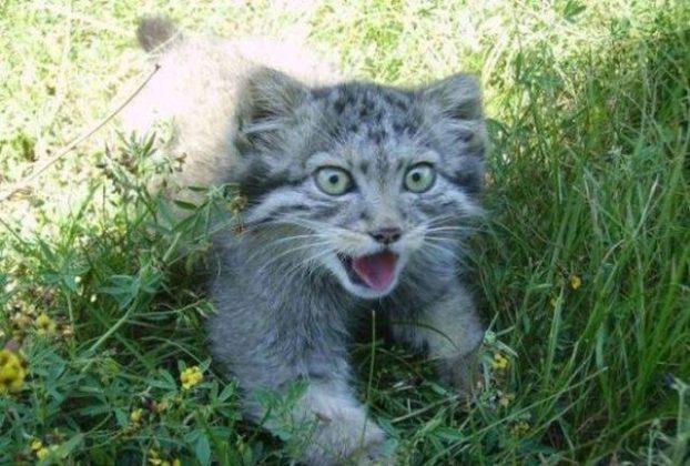 Pallasova mačka