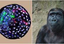 Kineski znanstvenici stvorili embrij majmuna koji sadrži ljudske stanice
