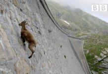 Penjanje divlje koze po zidu