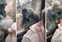 Mama je zabilježila nevjerojatne trenutke između njezine bebe i gorile
