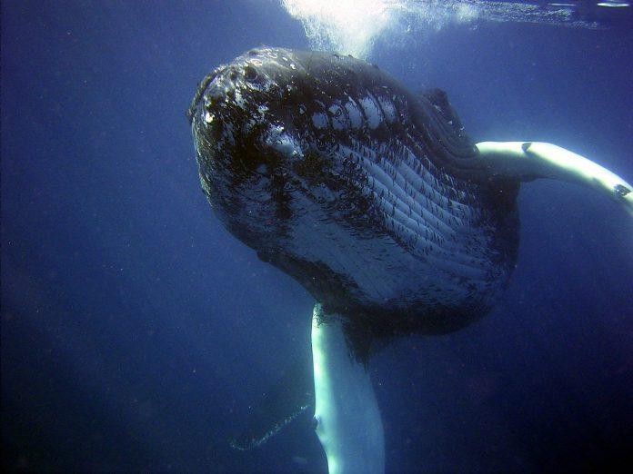 Grbavi kit progutao čovjeka