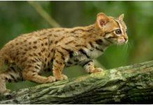 Najmanja divlja mačka na svijetu